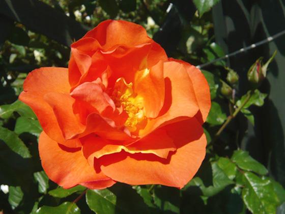 プリンセス・ミチコのバラの花